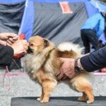 Strzyżenie psów na wystawę - na co zwrócić uwagę?