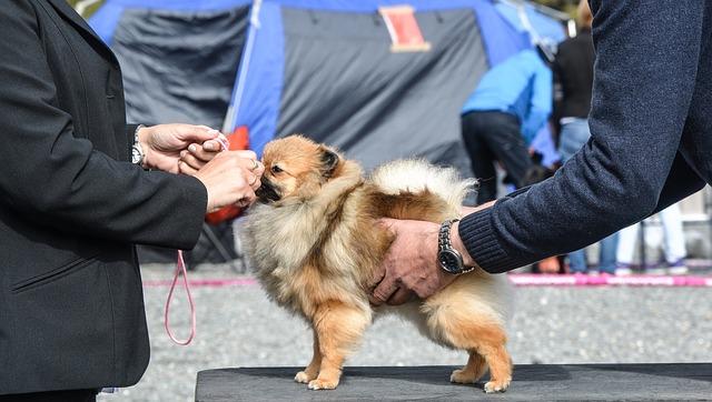 Strzyżenie psów na wystawę – na co zwrócić uwagę?
